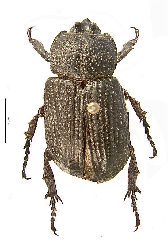 Hemiphileurus euniciae